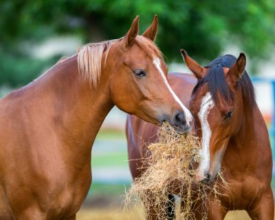 Two Arabian horses eating hay outdoor