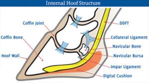 Navicular Syndrome