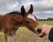 Handling Foals